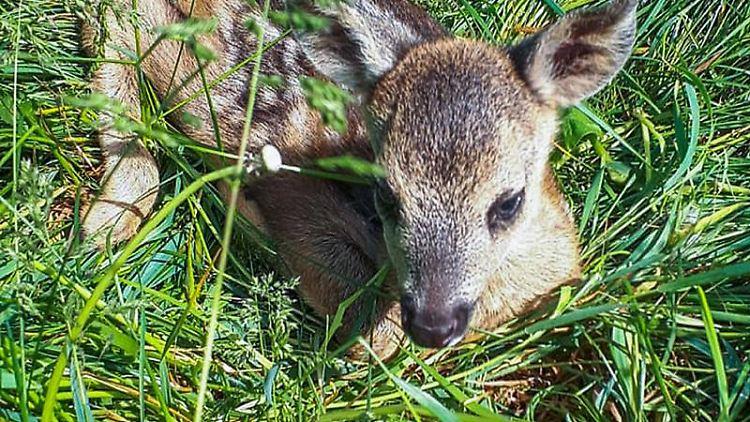 Ein kleines Rehkitz liegt im hohen Gras. Foto: ---/Wildtierrettung/dpa/Archivbild