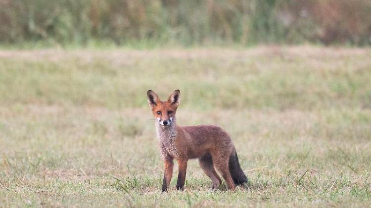 Ein Fuchs steht am frühen Morgen kurz vor Sonnenaufgang auf einem Feld. Foto: Julian Stratenschulte/dpa/Archiv