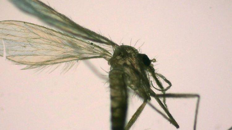 Eine Sandmücke sitzt auf einem Blatt Papier. Foto: Renke Lühken/Lühken/Institut für Tropenmedizin/dpa/Archivbild