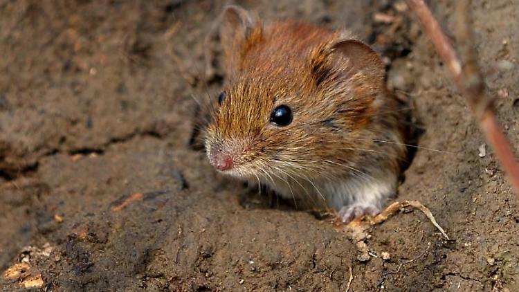 Eine Maus kommt aus ihrem Bau. Foto: picture alliance/dpa/Archiv/Symbolbild