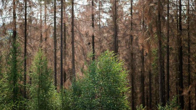 Grüne Buchen stehen im Stadtwald vor abgestorbenen Lärchen. Foto: Jonas Güttler/dpa/Archivbild