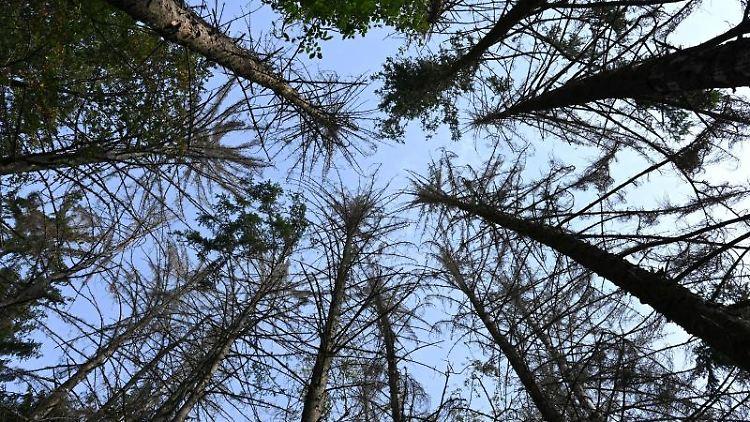Abgestorbene Fichten ragen in einem Waldstück in die Höhe. Foto: Arne Dedert/dpa
