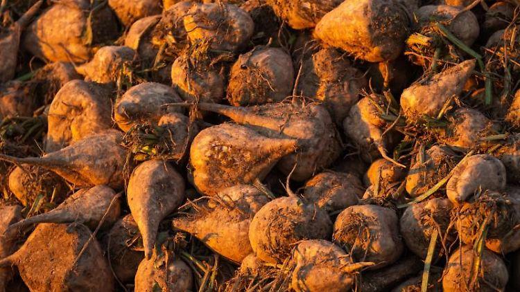 Zuckerrüben liegen auf einem Haufen. Foto: Philipp Schulze/dpa