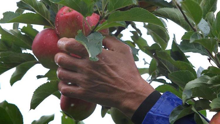 Ein Helfer pflückt in einer Plantage Äpfel der Sorte Elstar. Foto: picture alliance / dpa/Symbolbild