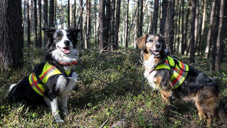 Die Kadaversuchhunde Ginger und Bailey (l-r.) im Landkreis Oder-Spree am Werk. Foto: Fabian Sommer/dpa