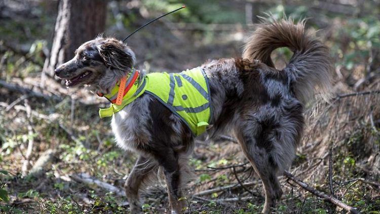 Kadaversuchhund Bailey sucht im Landkreis Oder-Spree nach Fallwild im von der Afrikanischen Schweinepest betroffenen Gebiet. Foto: Fabian Sommer/dpa