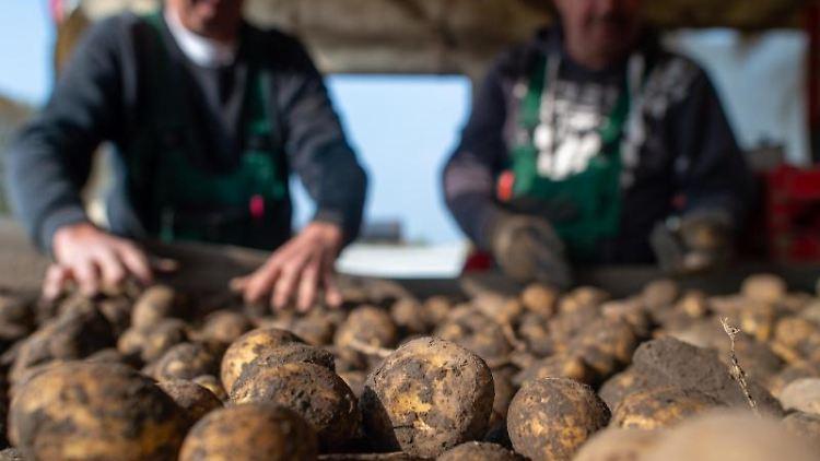 Frisch geerntete Kartoffeln liegen auf einem Förderband. Foto: Klaus-Dietmar Gabbert/dpa-Zentralbild/dpa/Symbolbild