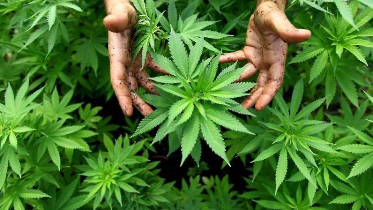 Hanf-Pflanzen einer Cannabis-Plantage. Foto: ABIR SULTAN/dpa/Archivbild