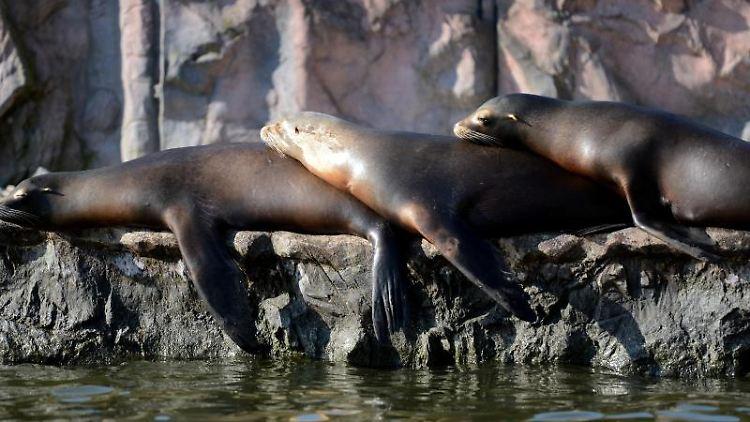 Seelöwen liegen in der Zoom Erlebniswelt übereinander gestapelt in der Sonne. Foto: Caroline Seidel/dpa/Archivbild