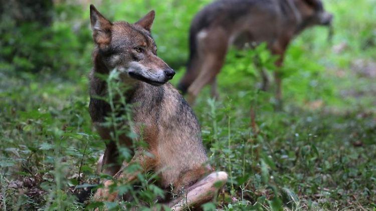 Wölfe laufen durch einen Wald. Foto: Oliver Berg/dpa/Symbolbild