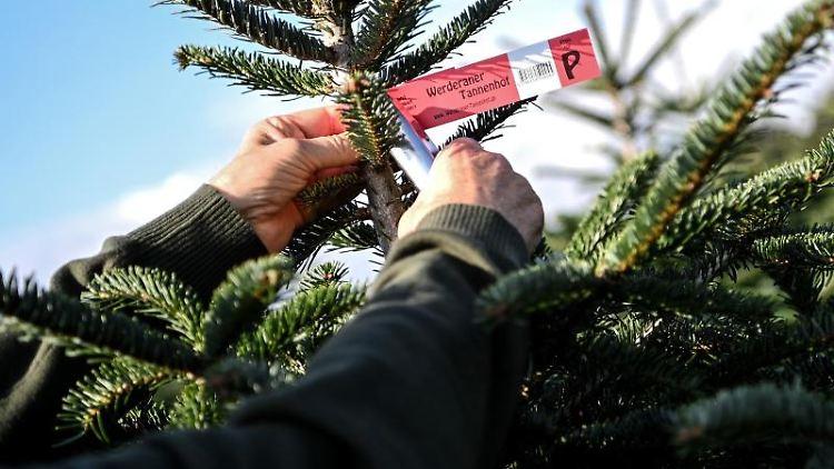 Gerald Mai, Geschäftsführer des Werderaner Tannenhofs beschildert in seiner Weihnachtsbaum-Plantage eine Nordmanntanne. Foto: Britta Pedersen/dpa-Zentralbild/dpa
