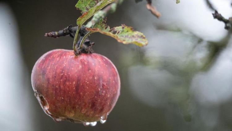 Ein nasser Apfel hängt auf einer Streuobstwiese an einem Baum. Foto: Sebastian Gollnow/dpa/Archivbild