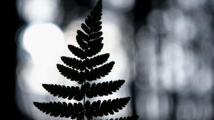 Der Umriss eines Farnblattes ist im Gegenlicht zu sehen. Foto: Patrick Pleul/dpa-Zentralbild/dpa/Symbolbild