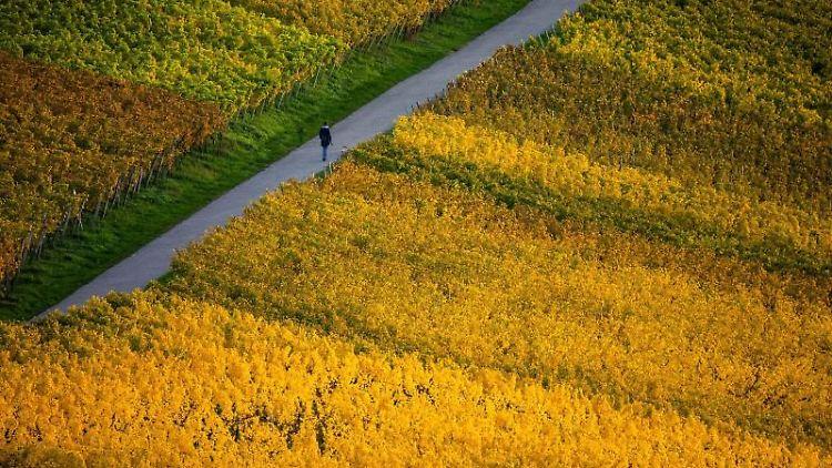 Eine Frau geht mit ihrem Hund über einen Weg auf einem Weinberg. Foto: Philipp von Ditfurth/dpa