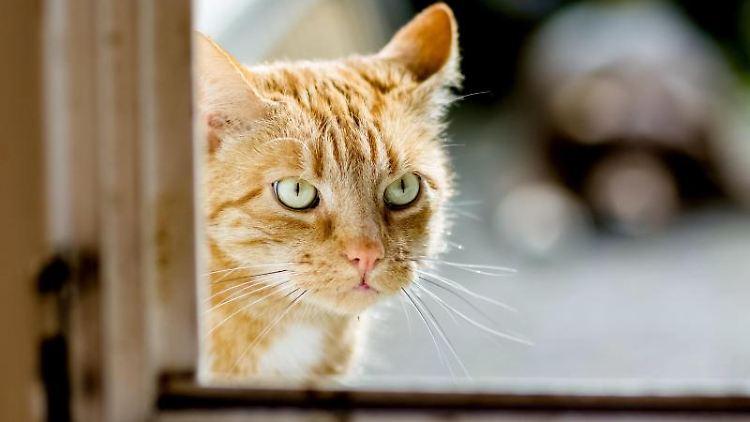 Eine Katze schaut in ein Fenster. Foto: Markus Scholz/dpa-tmn/Archivbild