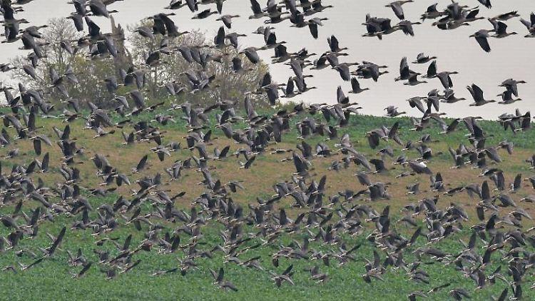 Wildgänse fliegen von einem Feld in den trüben Himmel. Foto: Patrick Pleul/dpa-Zentralbild/dpa/Archivbild
