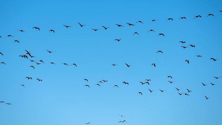 Graugänse fliegen über die Landschaft. Foto: Daniel Bockwoldt/dpa/Archivbild