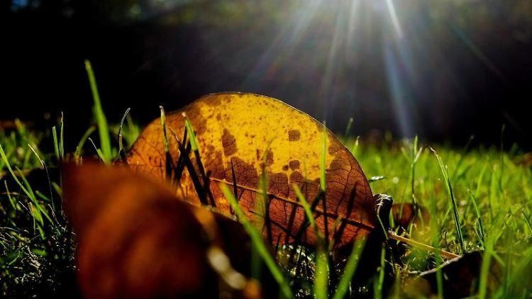 Ein herbstlich gefärbtes Blatt eines Walnussbaumes liegt auf einem Rasen und leuchtet im Gegenlicht der Morgensonne. Foto: Stefan Jaitner/dpa/Archivbild