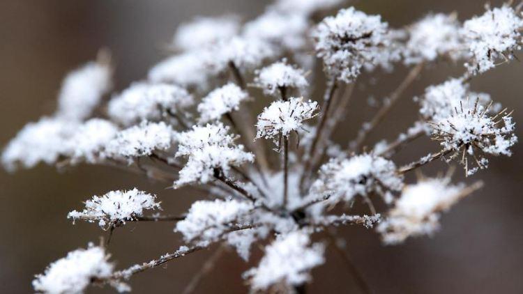 Schneeflocken liegen auf einer vertrockneten Pflanze. Foto: Sven Hoppe/dpa/Symbolbild