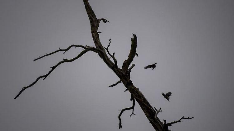 Spechte fliegen bei bewölkten Himmel um einen Baum. Foto: Sina Schuldt/dpa/Symbolbild