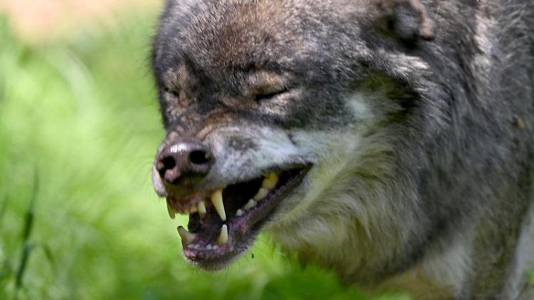 Ein Wolf läuft durch einen Wildpark. Foto: Carsten Rehder/dpa