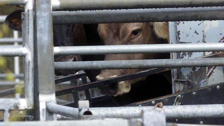 Im Schlachthof Biberach werden Rinder ausgeladen. Foto: Stefan Puchner/dpa/Archivbild