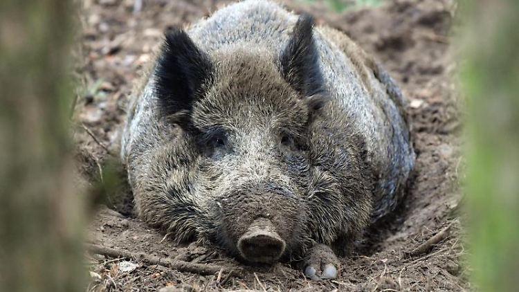 Ein Wildschwein liegt auf dem Waldboden. Foto: Patrick Pleul/dpa-Zentralbild/ZB/Symbolbild