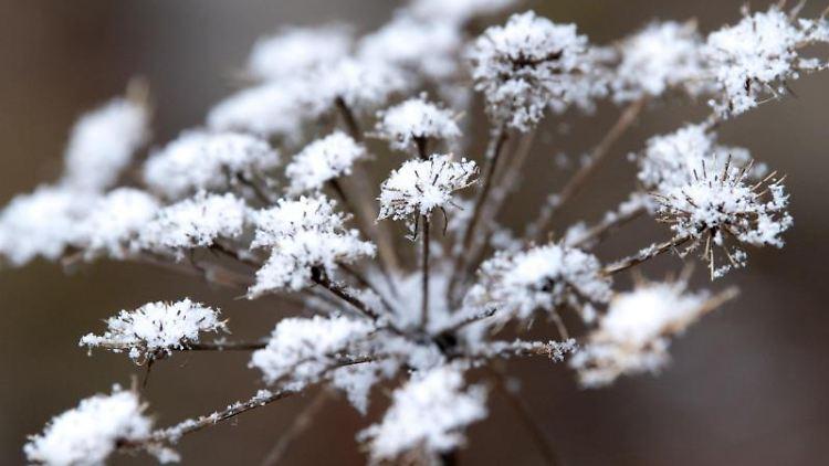 Schneeflocken auf einer vertrockneten Pflanze. Foto: Sven Hoppe/dpa/Symbolbild