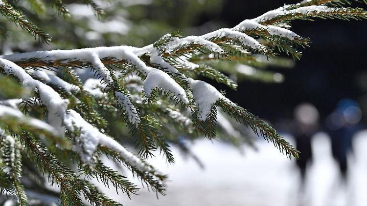 Schnee liegt auf einem Tannenzweig. Foto: Martin Schutt/dpa-Zentralbild/dpa/Archivbild