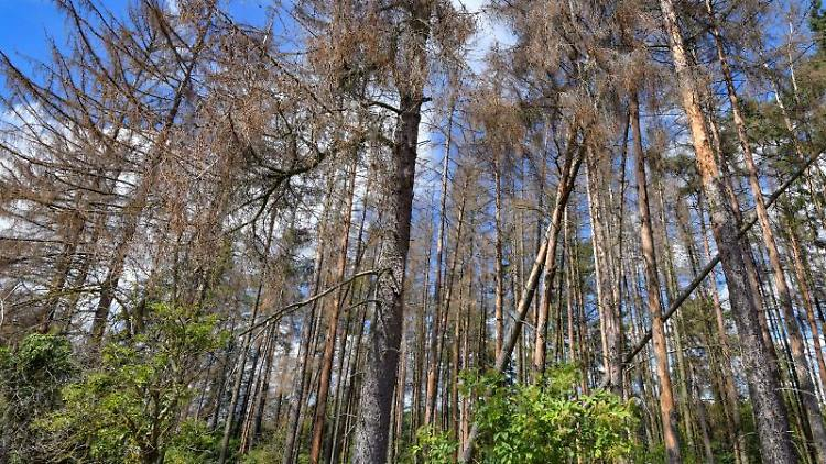 Abgestorbene Fichten stehen in einem Wald. Foto: Patrick Pleul/dpa-Zentralbild/ZB/Symbolbild