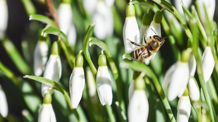 Eine Biene sitzt auf einer der Blüte eines Schneeglöckchens. Foto: Kira Hofmann/dpa-Zentralbild/dpa/Archivbild