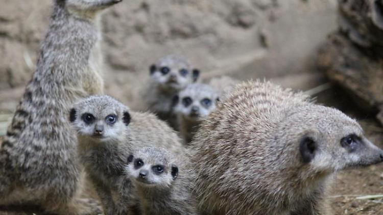 Gleich vier niedliche Erdmännchen-Jungtiere wuseln derzeit durch ihr Gehege im Duisburger Zoo und gehen immer häufiger auf Entdeckungstour. Foto: Zoo Duisburg/dpa