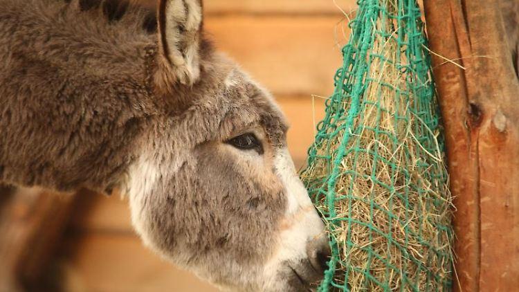 Ein Esel frisst Heu aus einem Netz. Foto: Matthias Bein/dpa-Zentralbild/dpa/Archivbild
