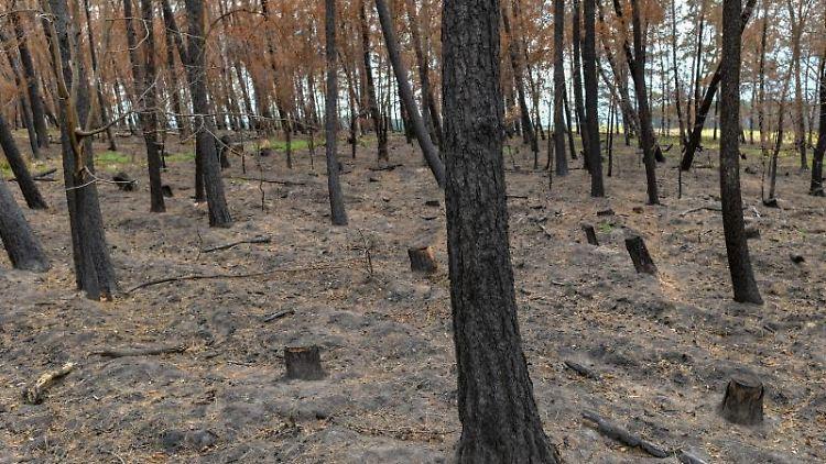 Blick durch ein verbranntes Waldstück. Foto: Patrick Pleul/dpa-Zentralbild/ZB/Symbolbild