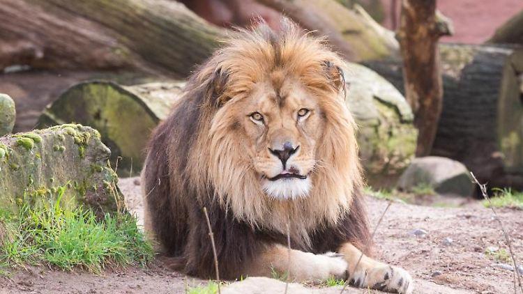 Ein Löwe liegt in seinem Gehege im Zoo Hannover. Foto: Julian Stratenschulte/dpa