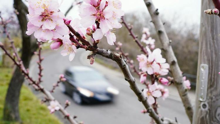 Erste Blüten spriessen an einem Mandelbaum. Foto: Uwe Anspach/dpa