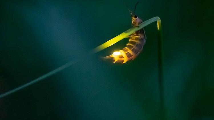 Was Sind Glühwürmchen