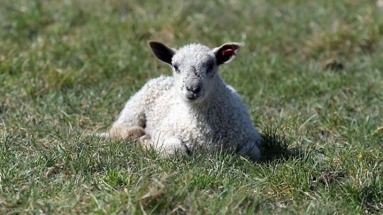 Ein Lamm liegt auf einer Wiese. Foto: Soeren Stache/dpa-Zentralbild/dpa/Symbolbild