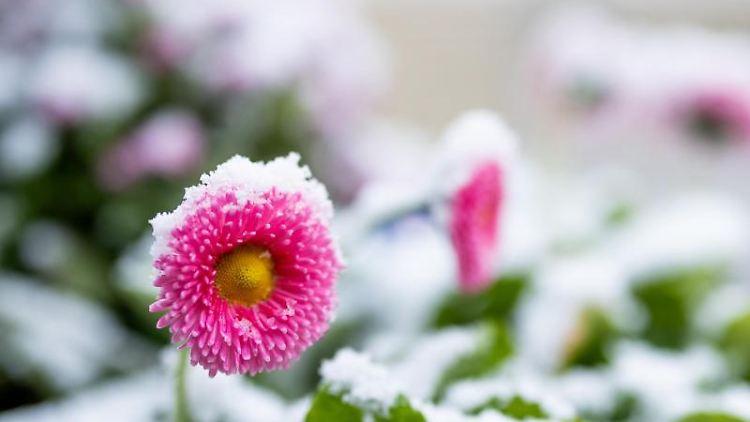 Schnee liegt auf Blüten von Gänseblümchen. Foto: Rolf Vennenbernd/dpa/Symbolbild