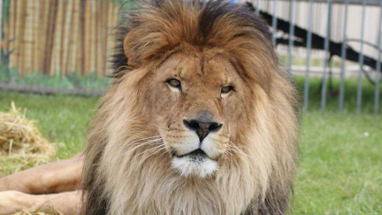 Löwe Kasanga in seinem Freigehege im Circus Krone. Foto: ---/Circus Krone/dpa