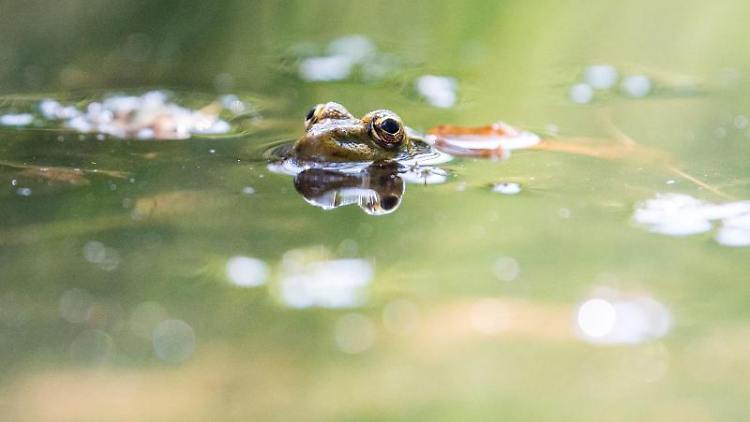 Ein Grasfrosch spiegelt sich in der Wasseroberfläche. Foto: Lino Mirgeler/dpa/Archivbild