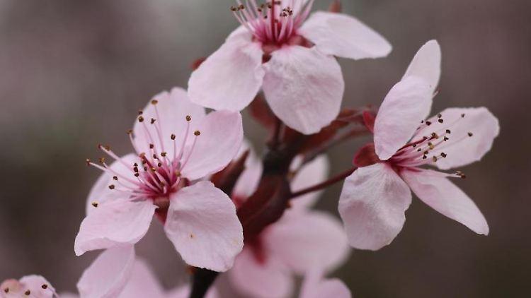 Kirschblüten, aufgenommen im Miniaturenpark