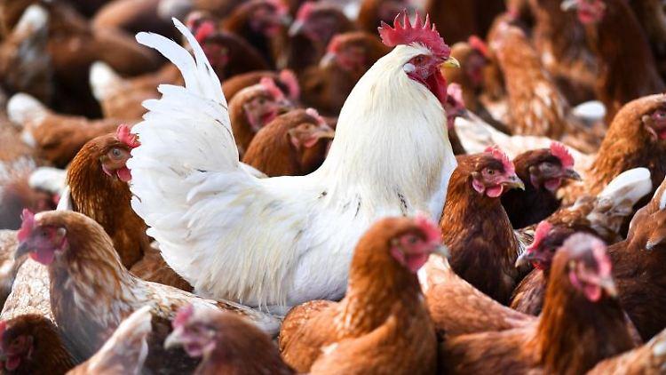 Ein weißer Hahn steht in einer Schar von braunen Hühnern. Foto: picture alliance/Felix Kästle/dpa/Symbolbild