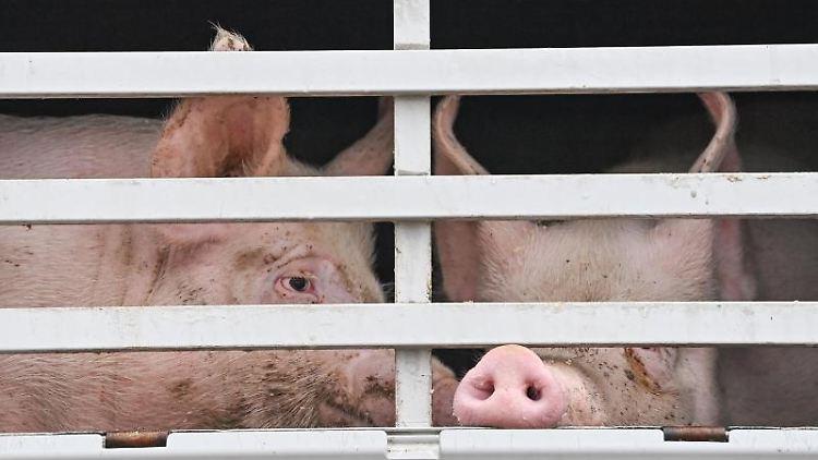 Mastschweine sind am frühen Morgen in einem Lkw für den Transport zum Schlachthof zu sehen. Foto: Patrick Pleul/dpa-Zentralbild/ZB