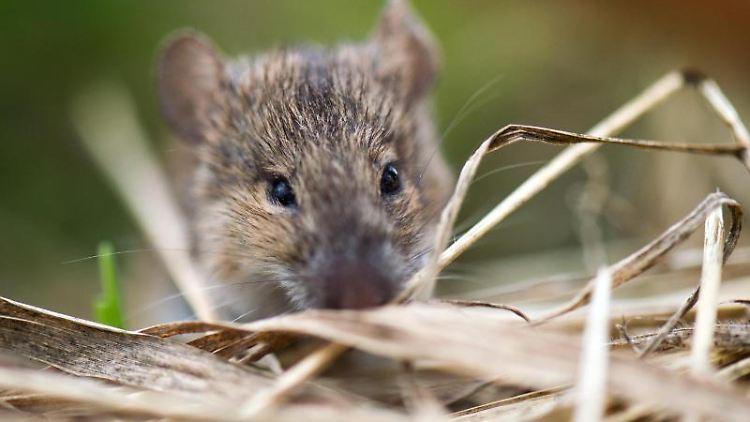 Eine Maus. Foto: Arno Burgi/dpa-Zentralbild/dpa/Archivbild