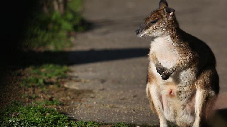 Ein Känguru sitzt auf der Straße. Foto: Ronny Hartmann/dpa/Archivbild
