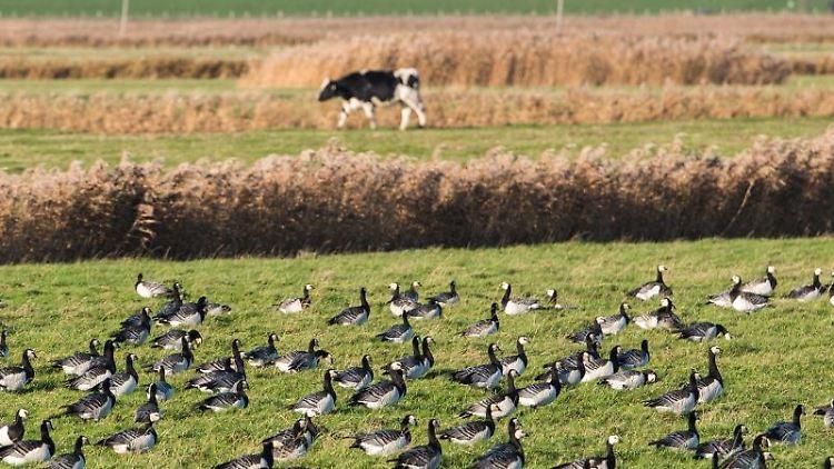 Weißwangengänse sitzen auf einem Feld und rasten, während im Hintergrund eine Kuh vorbeiläuft. Foto: Daniel Bockwoldt/dpa