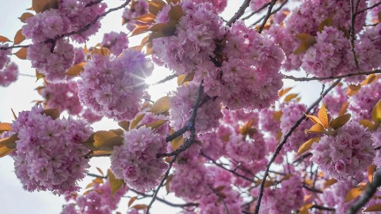 Die Sonne scheint durch die Blütten eines japanischen Zierkirschbaumes hindurch. Foto: Jörg Carstensen/dpa