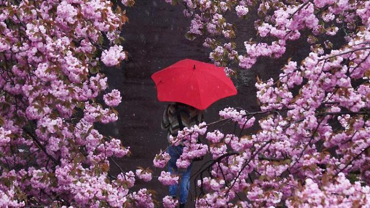 Bei starkem Regen geht eine Frau mit einem roten Regenschirm durch eine Kirschblütenallee spazieren. Foto: Jörg Carstensen/dpa