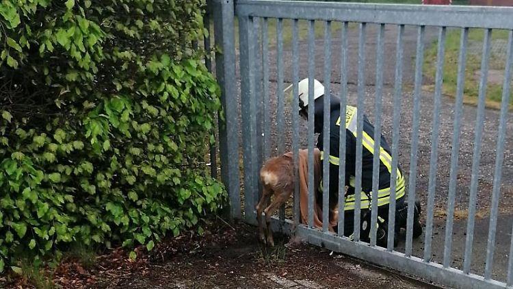 Ein Reh hat sich beim Passieren eines Metalltores verhakt und konnte sich nicht mehr befreien. Foto: Polizeiinspektion Oldenburg-Stadt/Ammerland/dpa/aktuell